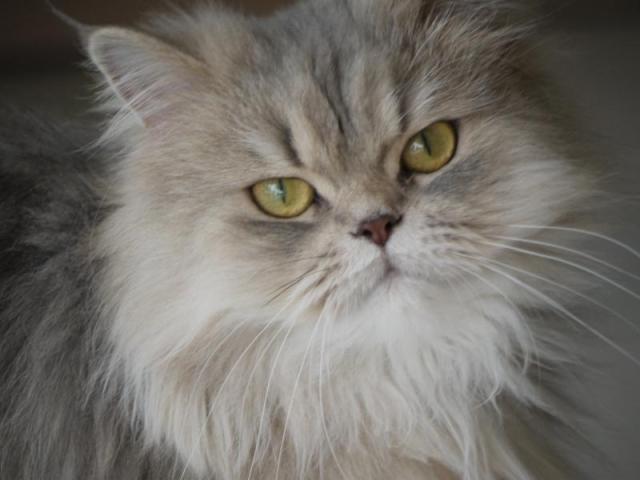 persian-cat2