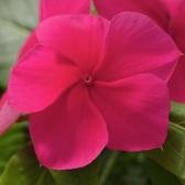 vinca-mediterranean-dark-red-annual-flower-seeds