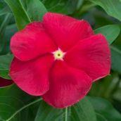 Vinca, Cora Red, Single bloom